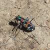 「道しるべ」の別名を持つ美しい昆虫ハンミョウ(斑猫)。その真の姿は獣のようだった!