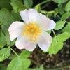 ロサ・カニナ(ドッグローズ)の一番花