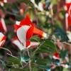 朱の国⒂失われた記憶と椿の花