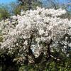 多様な桜を守った英国人 「絶滅」タイハク、京都へ穂木送る - 東京新聞(2016年3月21日)