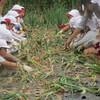 楽しい収穫体験