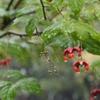 雨のジョロウグモ