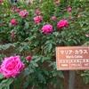 神代植物公園で薔薇を見る、アメリカは大統領&議会選挙直前
