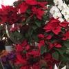 花屋が教えるポインセチアの育て方