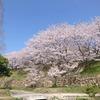 今年も桜さく。
