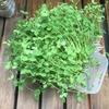 【水耕栽培】豆苗が超成長した。