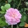 バラが夏でも元気に過ごせるコツ 実はシンプル