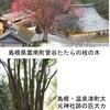 カツラ/古事記3 神の依りつく木カツラ.たたらの神・金屋古(かなやご)神の御神木としても崇められ,たたらが盛んであった地方には大木が残されています.名称の混乱(桂は中国ではモクセイ/ニッケイ)の原因となったカツラの香は,葉に含まれるマルトール.ショウユノキ,コウノキの別称もあるそうです.そして,老木は大木に.  巨樹ランキング・トップ20に,2カ所のカツラがランクイン.