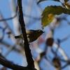 枝上のメジロ 歳末玉手箱 囀るチゴモズ