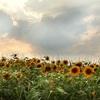 この夏に行きたい!関西のおすすめひまわり畑|奈良編