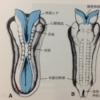 発生学8 中枢神経系