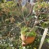 スモークツリーの芽吹きとライラックと山あじさい