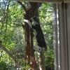 今朝のチョモの木登り
