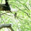 もう1羽のアオバズク