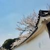 満開直前、歓修寺の桜。
