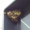 我が家にスズメバチがやってきた