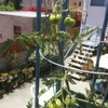 Spring 2017 トマトと多肉植物