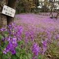 多磨全生園でお花見散歩。映画『あん』『もののけ姫』も関係がある場所