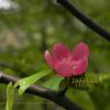 榠樝 (かりん)Chaenomeles sinensis