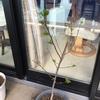 やっと山椒が芽を出しました。