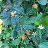 野生の木苺:カジイチゴをいただきます