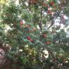 ダイセンキャラボクの真っ赤な実/北壁紅葉始まり