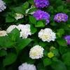紫陽花の咲く公園『都立砧公園~世田谷美術館』