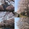 事務所近くの桜スポット