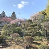 Tom家の庭は梅が満開です!