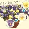 天使の誘惑~花色が変化するビオラなら寄せ植えセンスがなくてもオシャレ
