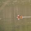 袖ヶ浦公園でオシドリとの嬉しい出会い