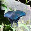 散歩で見かけた青い蝶