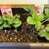 北海道でイチゴを育てる!日当たりが重要ですね