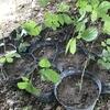 山菜のポット苗作りを始めようかなあ!