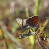 11/3/2018・仕事前に河川敷へ、たくさんの蝶に会えました