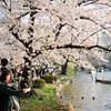 不忍池の桜  #filmphotography