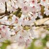 慈眼寺公園のさくら広場の桜(2018年3月25日)@鹿児島市下福元町