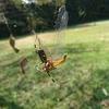 昆虫の世界 ジョロウグモの網に捕らわれたアキアカネの末路