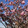 八重桜が満開になりました
