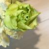【165】レモンイエローのバラ/日光浴中の植物
