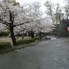 定点観測 八代城跡の桜 花見の機会も無いまま散り始めました