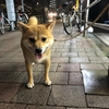 新宿で柴犬と出会う♪♪