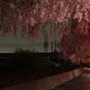 夜桜と115系