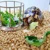 リクガメには野菜よりも野草を与えていきたい。