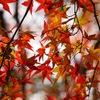 京都府立植物園で紅葉を楽しんできました