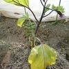 ナスの葉が黄色に・・・窒素が不足?