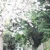 那古観音の桜。
