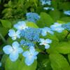 オオヤマレンゲの咲き誇る八経ヶ岳