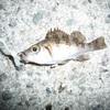 メバル釣行記 淡路島 2013年1月5日