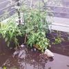 池と化した家庭菜園